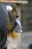 Mandrill im Ouwehands Dierenpark (Ulli J.) Tags: zoo niederlande nederland netherlands paysbas nederlandene utrecht rhenen ouwehandsdierenpark mandrill mandril