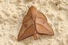 6773 moth Cristalino Lodge, Alta Floresta, Brazil 06.10.2015 (Roger Wasley) Tags: moth cristalino lodge alta floresta brazil brasil insect moths south america macro amazon rainforest matogrosso