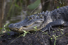 (DFChurch) Tags: bird rookery swamp trail american alligator teeth nature wild wildlife reptile florida naples