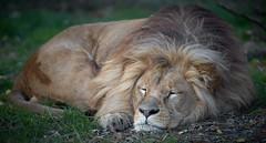 mes resolutions pour le nouvel an (rondoudou87) Tags: lion felin sieste pentax k1 wildlife wild parc zoo reynou nature natur allnaturesparadise
