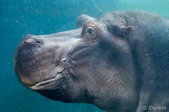 Hipopotamo (espada100) Tags: hipopotamo bioparc valencia nikon agua d90 tamron70300vc