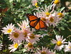 Monarch Butterfly in Northern Illinois on November 01, 2016 DSCF9543 (Ted_Roger_Karson) Tags: fujifilm xs1 raynox dcr150 country girl flower clara curtis hand held camera northern illinois an unique eye attached macroclose up lens macrolife honey bee aster flowers balm thistle super macro thisisexcellent flowerhead back yard friends twop bug hd winter fuji eyes m150 macroscopic pollen animal outdoor insect pollinator plant depth field backyard animals