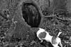 Hello? (KelJB) Tags: terrier jackrussell nosydog funnydog canine funny pet dog