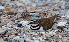 Sitting on her Eggs (imageClear) Tags: killdeer wildlife beach stones pebbles nest incubating nesting lowangle spring imageclear flickr aperture photostream nikon d7200 500mmf4