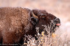 Breakfast (OJeffrey Photography) Tags: bison winter snow co colorado coloradowildlife nikon d500 ojeffrey ojeffreyphotography jeffowens buffalo