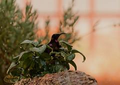Black Sunbird Bathing (LaMygale) Tags: bernice leroy image photo photograph south africa black sunbird sun bird