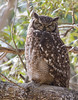 Spotted Eagle-owl (Bubo africanus) (George Wilkinson) Tags: buboafricanus spotted eagleowl kirstenbosch cape town south africa botanical gardens western wildlife canon 7d 400mm
