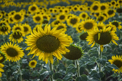 Sunflowers Ucles (pelpis) Tags: sunset sunflower sunflowers sunflowerlandscape landscape flower lovesflowres flickrflowers details yellow nature naturescene naturaleza naturescape wildnature lovesnature