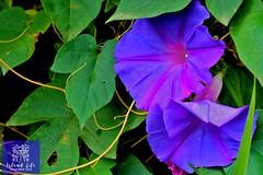Morning Glory (thiliwas) Tags: srilanka islandlife lovesrilanaka ceylon purple happyflowers