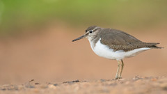 Common bird (Pascal Bernardin) Tags: chevalierguignette actitishypoleucos commonsandpiper