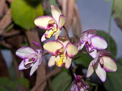 Spathoglottis Hybride (Eerika Schulz) Tags: spathoglottis berggarten hannover herrenhausen herrenhäuser garten orchidee eerika schulz
