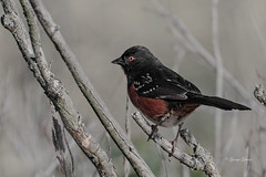 Spotted Towhee (Photos_By George) Tags: sparrowstowhees spottedtowhee bird animal outdoor song songbird nature canon wildlife birds canada britishcolumbia lagoon