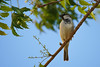 Bird on Branch طائر على الغصن (Abdullah M) Tags: bird tree canon sony fotodiox a6300 mirrorless saudi sky السعودية طائر كانون سوني الباحة طبيعة طيور