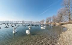 lake Zajarki (092) -swans (Vlado Ferenčić) Tags: lakes lakezajarki winter zajarki zaprešić jezerozajarki croatia hrvatska nikond600 birds sigma1528