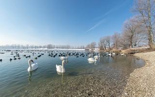 lake Zajarki (092) -swans