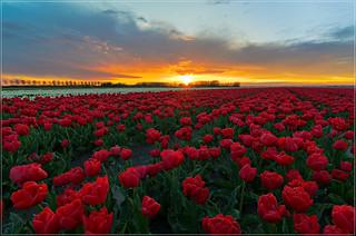 Mooie zonsondergang boven de tulpen