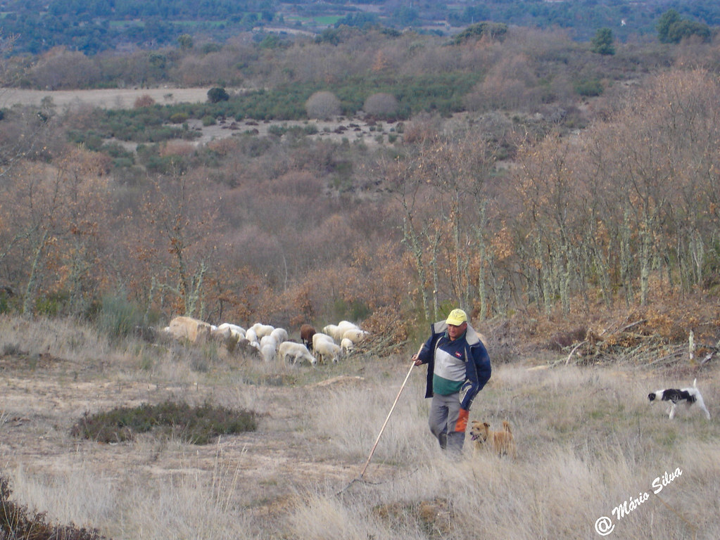 Águas Frias (Chaves) - ... o pastor, o cão e o rebanho ...