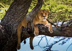 Lounging lioness - EXPLORED (June 14, 2015) (JD~PHOTOGRAPHY) Tags: africa animal canon tanzania wildlife lion serengeti lioness carnivore sleepinglion femalelion serengetinationalpark treeclimbinglions canon6d