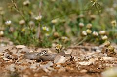 Eirenis modesta (Ring-headed dwarf snake) -   (shanicy) Tags: snake hermon     eirenislevantinus