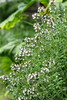 citromillatú kakukkfű / Lemon thyme (debreczeniemoke) Tags: summer plant flower garden thyme virág kert lamiaceae lemonthyme nyár növény zitronenthymian thymcitron kakukkfű thymuscitriodorus citrusthyme canonpowershotsx20is timolimone árvacsalánfélék cimbrişor citromillatúkakukkfű