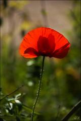 Life is a dream (Hetty S.) Tags: life closeup canon eos spring dream poppy dreamy klaproos droom dromerig