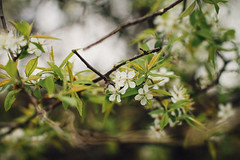 Wild Plum Blossoms (Pics by Abigail) Tags: flowers light white nature canon spring bokeh branches blossoms may plum tiny twigs dainty airy wildplum growingwild niftyfifty