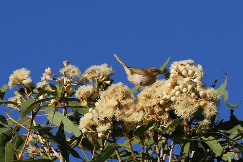 Brown Honeyeater - eucalyptus ID please.