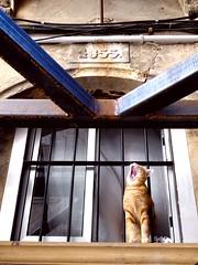 Yawning cat of Tarragona-2 (ashabot) Tags: street spain streetlife streetscenes