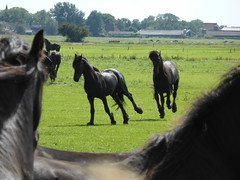 In the meadow with the Frisian horses (Alta alatis patent) Tags: horses meadow fries playful paard frisian frysk hynder