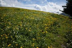 flower field (Toni_V) Tags: nature landscape schweiz switzerland europe suisse hiking rangefinder svizzera wanderung berneroberland randonne 21mm 2015 svizra seeberg leicam messsucher 150613 superelmarm typ240 toniv m2403775 zweisimmenoeydiemtigen