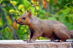 Squirrel (Braden Bygrave) Tags: park cambridge ontario canada colour nature animal animals nikon like fave explore colourful nikonphotography d7100 55300mm nikond7100