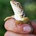 Eastern Collared Lizard, Female