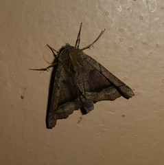 Moth --- Pero sp.?