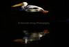 LakeChabot_123116_062 (kwongphotography) Tags: lakechabot castrovalley birds calif americanwhitepelican pelican wildlifephotography nature naturephotography wildlife birdsinflight unitedstates