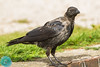 Carrion Crow (Corvus corone) Juodoji varna