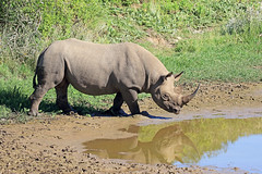 2016 South Africa (Ian Macfadyen) Tags: southafrica easterncape kareigagamereserve rhino blackrhino rhinocerus horn