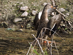 DSCN0325 (salva.al) Tags: pato anade volar plumas