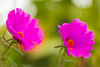 IMG_9912 (jose_jefersson) Tags: flor flores flower flowers nature natureza color cores desfoque 50mm