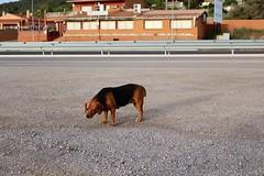 Av de la Miralba, La Bisbal del Penedès, CAT (Jickatrap) Tags: canon canoneos1300d キヤノン perro 郊外 suburbia 道路 carretera ストリート urbanlandscape photographersontumblr labisbaldelpenedès スペイン 灰色 茶色 イヌ