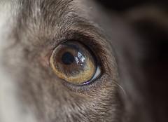 Unconditional Love (Shastajak) Tags: sql pronouncedsequel iknowitsasillyname lurcher greyhound bullterrier crossbreed sighthound gazehound dog rehomed rescued eye macromondays inspiredbyasong myeyesadoredyou frankievalli littledoglaughedstories