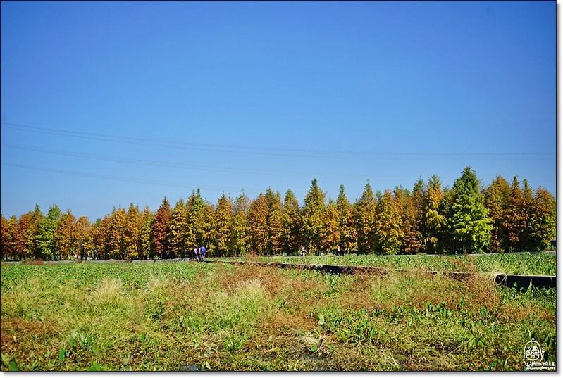 32084506992 483354df3c c - 『台中。后里』 泰安落羽松林秘境-泰安國小旁/泰安櫻花派出所/冬日限定的那一季松紅。