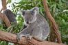 Koala (Phascolarctos cinereus) (Seventh Heaven Photography) Tags: koala bear phascolarctos cinereus herbivore marsupial mammal australia nsw new south wales sydney animal nikond3200