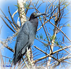 Little Blue Heron (Suzanham) Tags: littleblueheron heron bird tree perching perch wadingbird everglades florida bigcypressnationalpreserve turnerriver wildlife nature