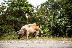 micket's pig friend- (Bigoudi14620) Tags: mariegalante antilles guadeloupe mickaellamotte 5dmarkii