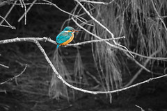 嗚嗚嗚,我終於拍到小翠了!|Kingfisher 翠鳥 (里卡豆) Tags: kingfisher 翠鳥 bird olympus penf 東石 鰲鼓溼地 台灣 taiwan 嘉義 chiayi 75300mmii f4867 75300mmf4867ii