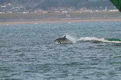 IMG_5845 (monika.carrie) Tags: monikacarrie wildlife scotland aberdeen dolphins dolphin cetacean mammal