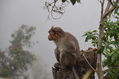 Observing the world on a chill morning (Sriini) Tags: monkey cold fog mist india kerala munnar chill nature zoom nikon