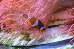 Orange-Ringel-Anemonenfisch im Randers Regnskov (Ulli J.) Tags: zoo dänemark danmark denmark danemark denemarken midtjylland randers randersregnskov orangeringelfisch westlicherclownfisch orangeringelanemonenfisch falscherclownfisch ocellarisclownfish falseperculaclownfish commonclownfish poissonclownàtroisbandes poissonclownocellé driebandanemoonvis