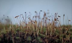 On the roof (Rambolive) Tags: lygra lyngheisenteret heatland landscape plants moss mose strå straw droplets