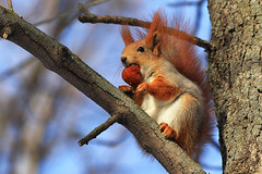 Frozen fruit for breakfast (Unicorn.mod) Tags: 2017 colors squirrel park winter nature morning february canoneos6d canon70300f456isusm